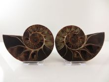 Cut and Poished Display Ammonite - 10.2cm's across - Phylloceras